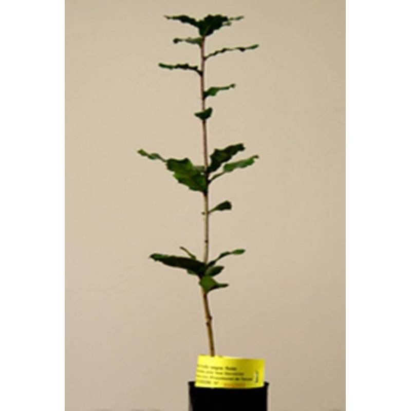 Acheter chenes mycorhiziens de truffe noire ch ne arbre for Acheter des plantes