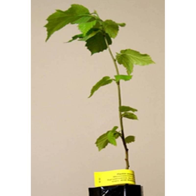 Acheter noisetier mycorhiziens de truffe noire noisetier for Acheter des plantes