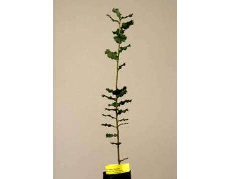 Acheter des plantes mycorhiziens truffe noire. chêne vert. les prix. L'agriculture biologique certifiée chêne. (Quercus ilex)