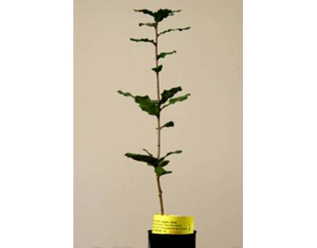 Acheter des plantes mycorhiziens truffe noire. chêne. les prix. L'agriculture biologique certifiée chêne. (Quercus ilex)