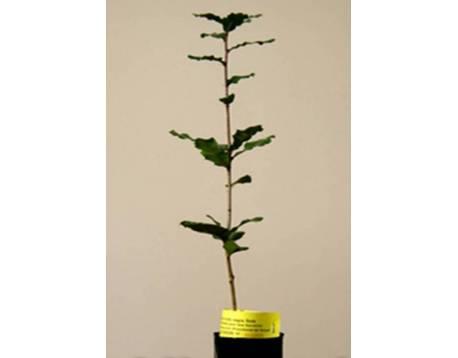 Comprar plantas micorrizadas de trufa negra. Roble. precios. Cultivo ecológico certificado