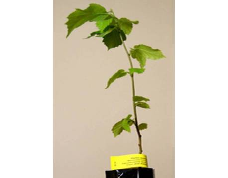 Buy mycorrhizal plants black truffle. hazel (Corylus) . prices. Certified organic farming