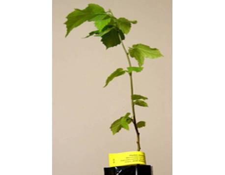Kaufen Mykorrhiza Pflanzen schwarzen Truffel. Hasel (Corylus). Preise. KbA