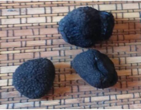 Compre trufas negras. trufas frescas. Melanosporum. preço. natural fresco. perigord