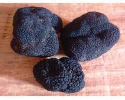 Compre trufa de outono. trufa natural fresca. preço de temporada. Tuber uncinatum. cozinha gourmet. Borgonha