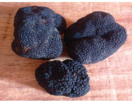 buy autumn truffle. fresh truffle. Tuber uncinatum natural. see price of season. gourmet cooking. Bourgogne