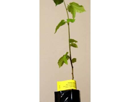 Acheter vente chataignier mycorhiziens. truffe noire. chataignier arbre. perpignan. prix